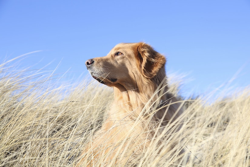 Golden Retriever in den Duenen